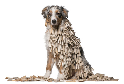 Australian Shepherd puppy covered with Clothespins, 5 months old, sitting in front of white background